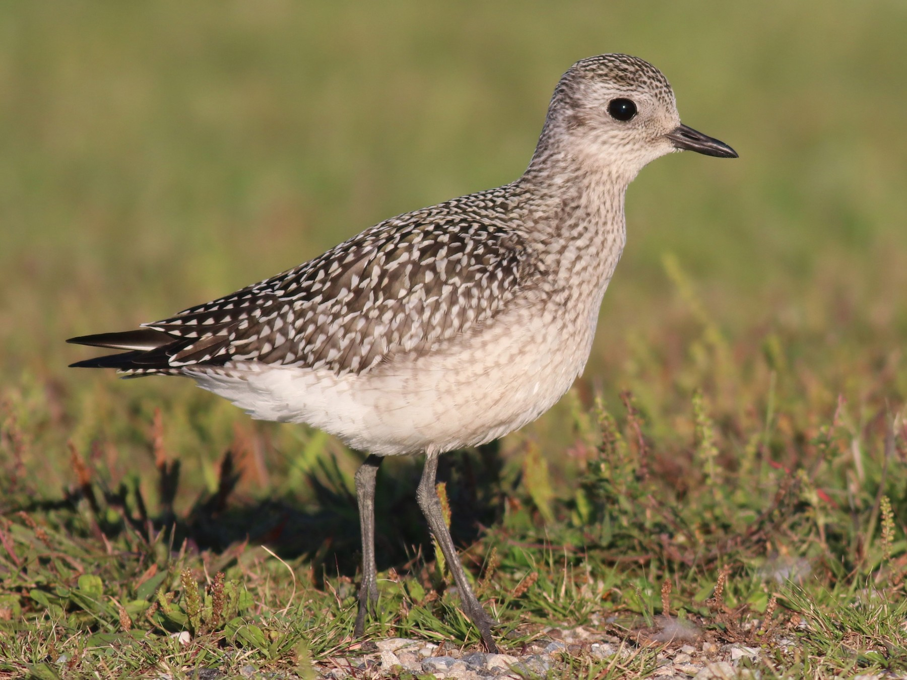 Black-bellied Plover - Brendan  Fogarty