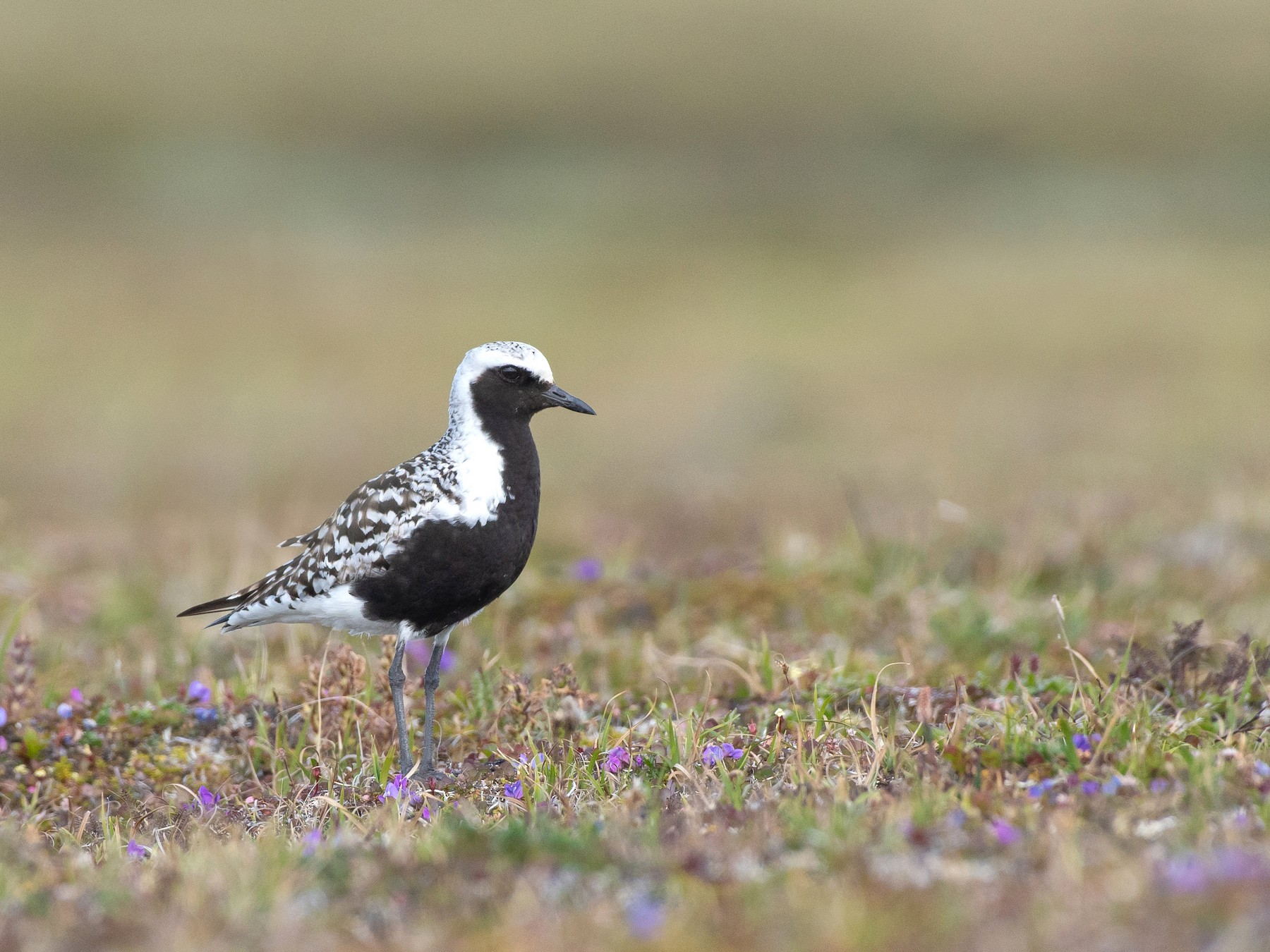 Black-bellied Plover - Tyler Ficker