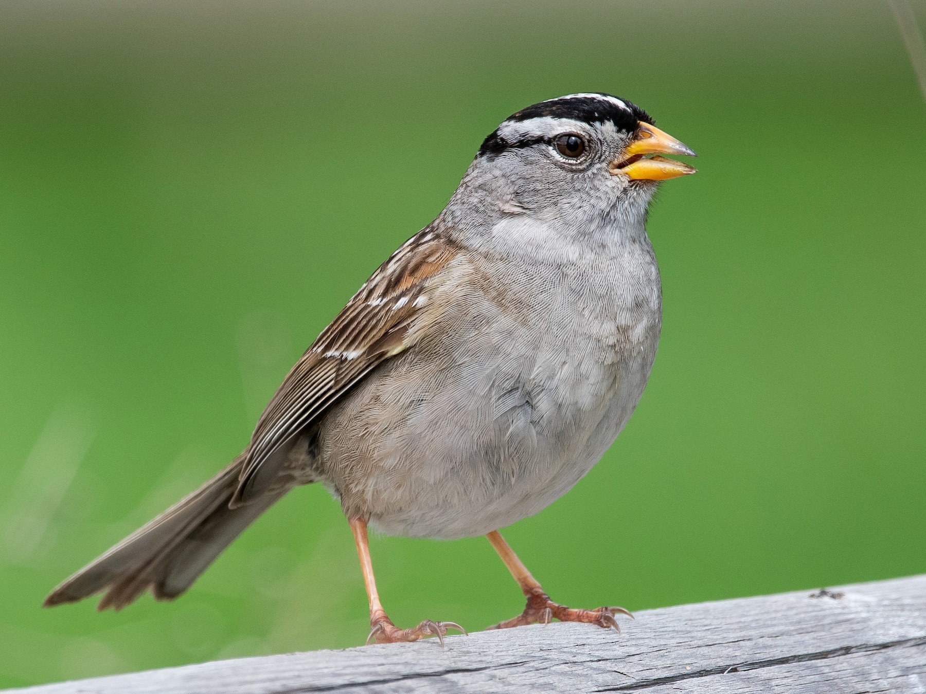 White-crowned Sparrow - Mason Maron