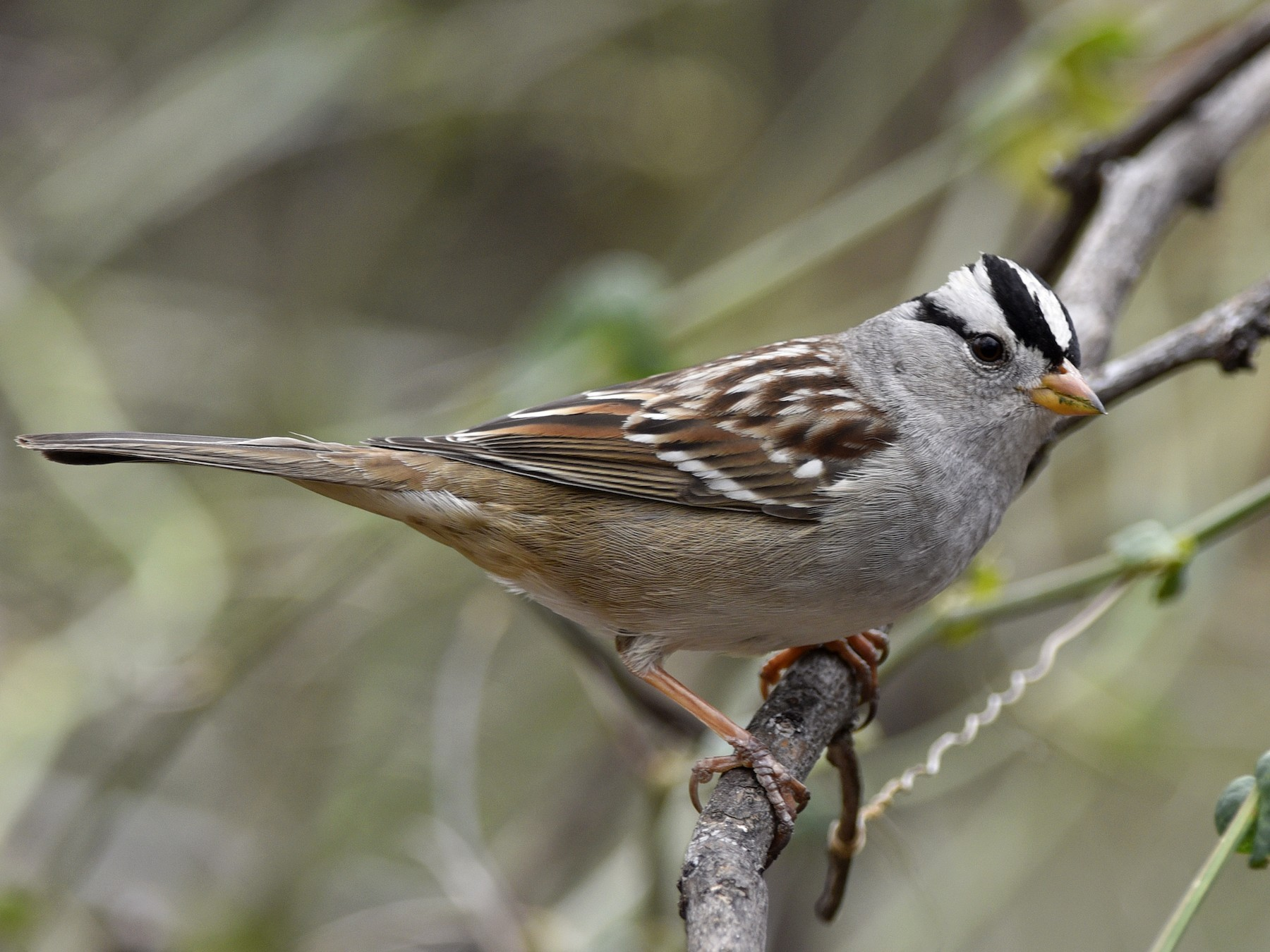 White-crowned Sparrow - Daniel Irons