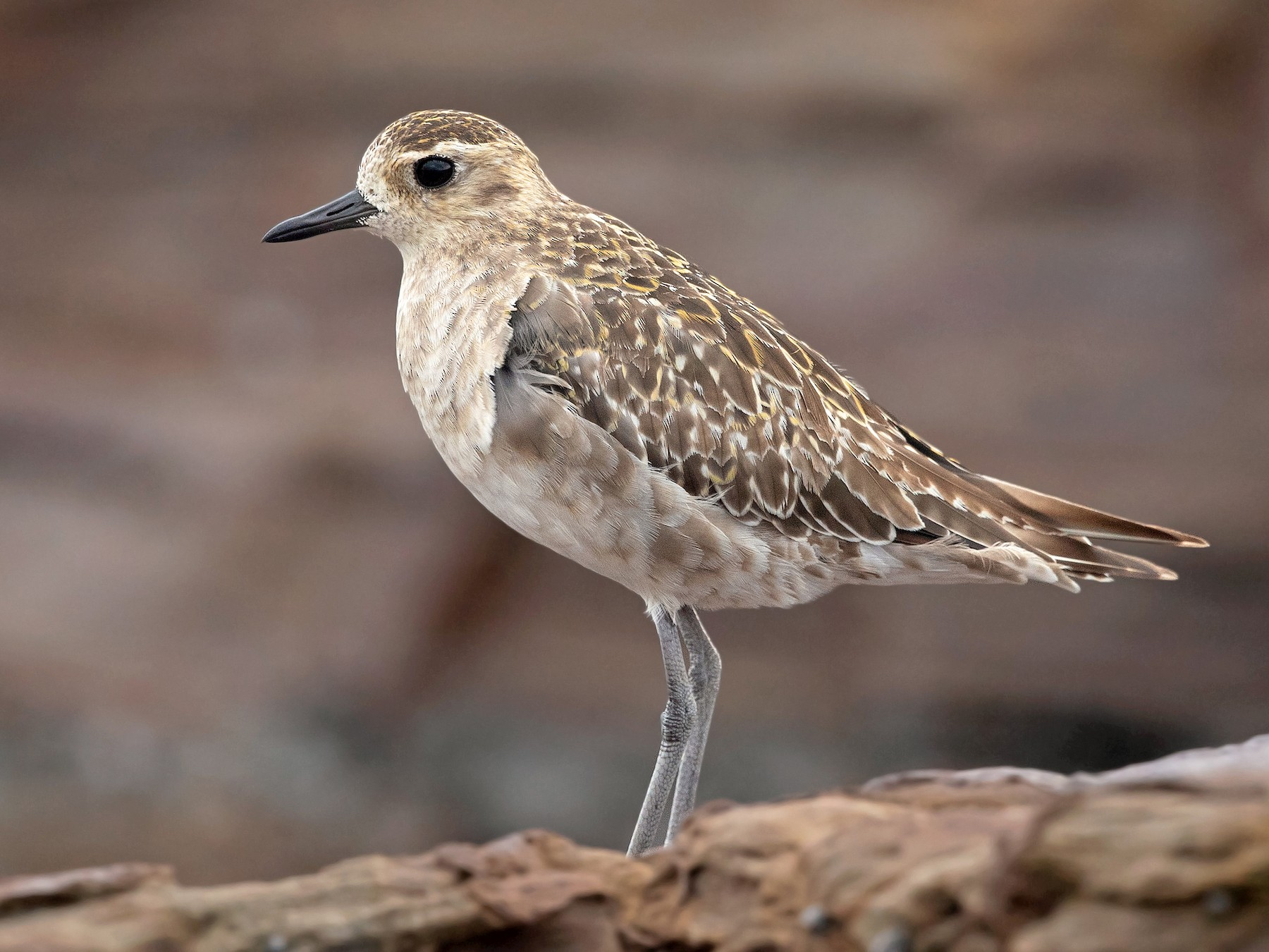 Pacific Golden-Plover - David Irving