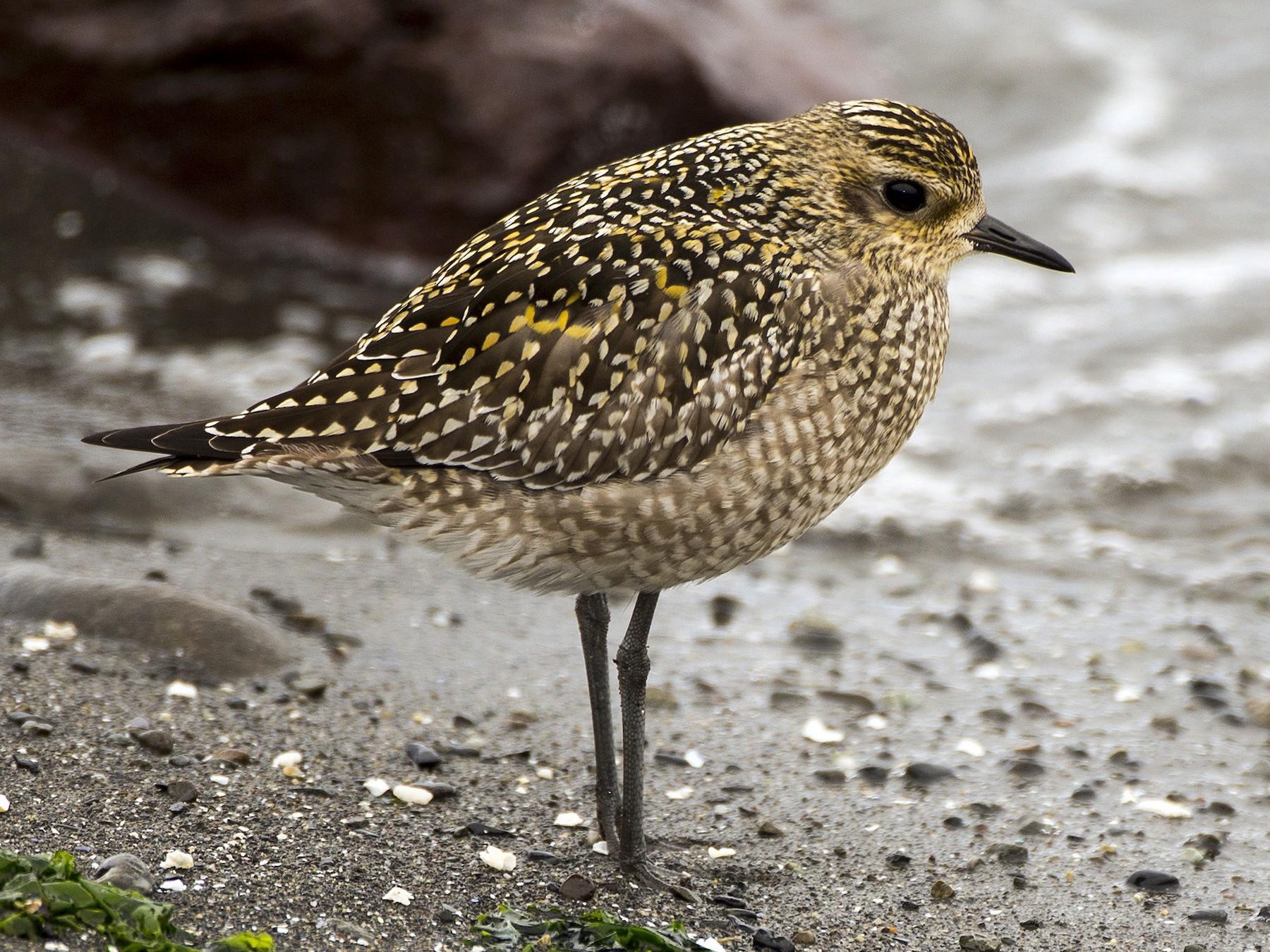 Pacific Golden-Plover - Janine Schutt