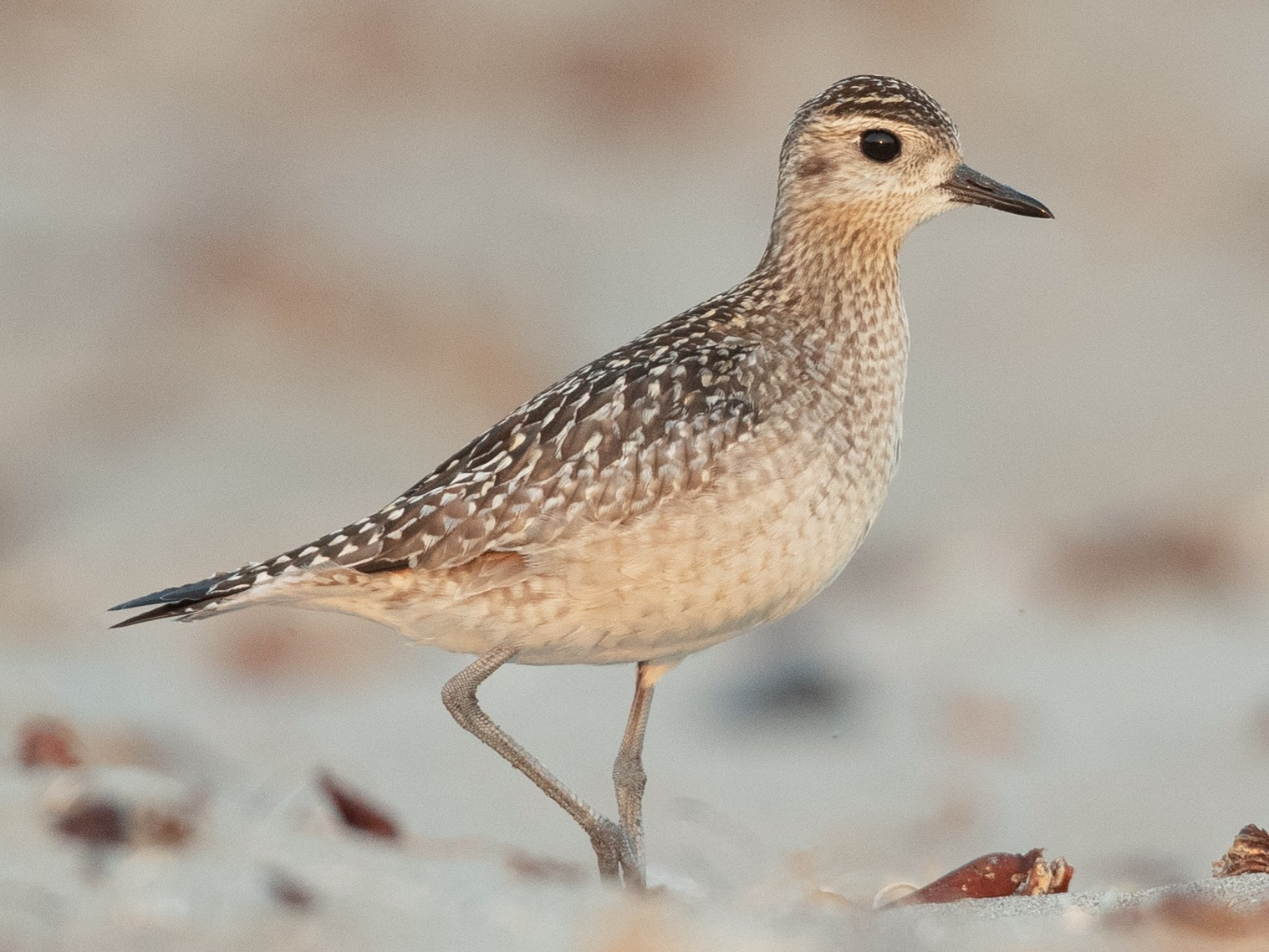 Pacific Golden-Plover - Ian Davies