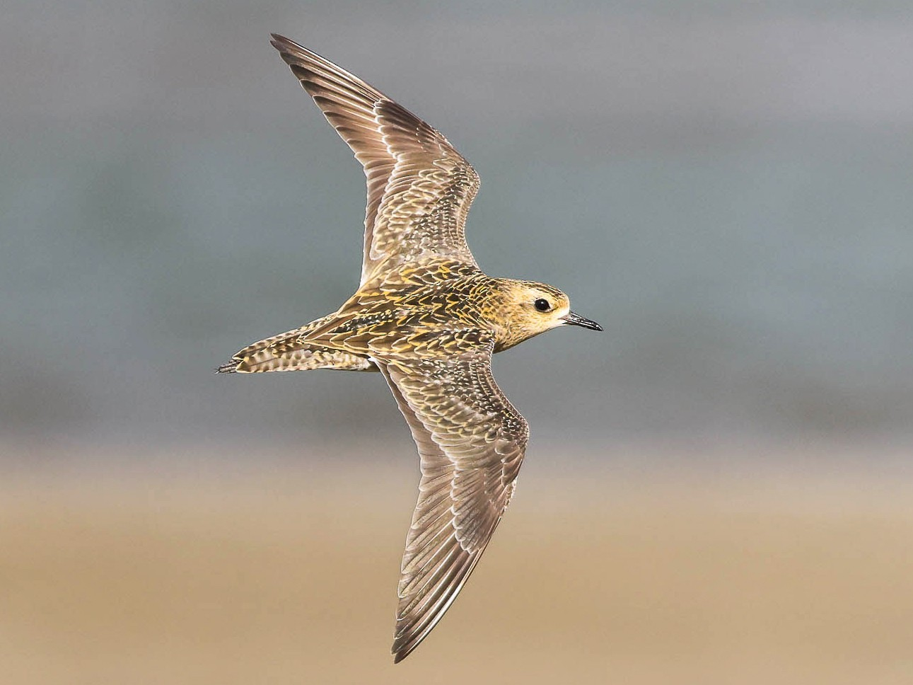 Pacific Golden-Plover - Ged Tranter