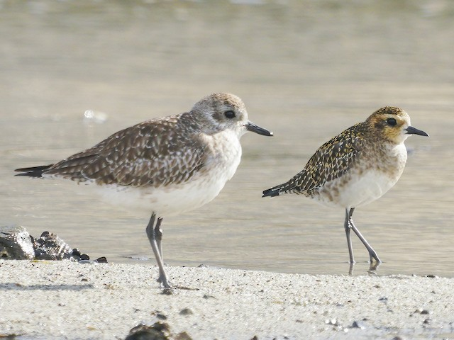 Immature (with Black-bellied Plover)