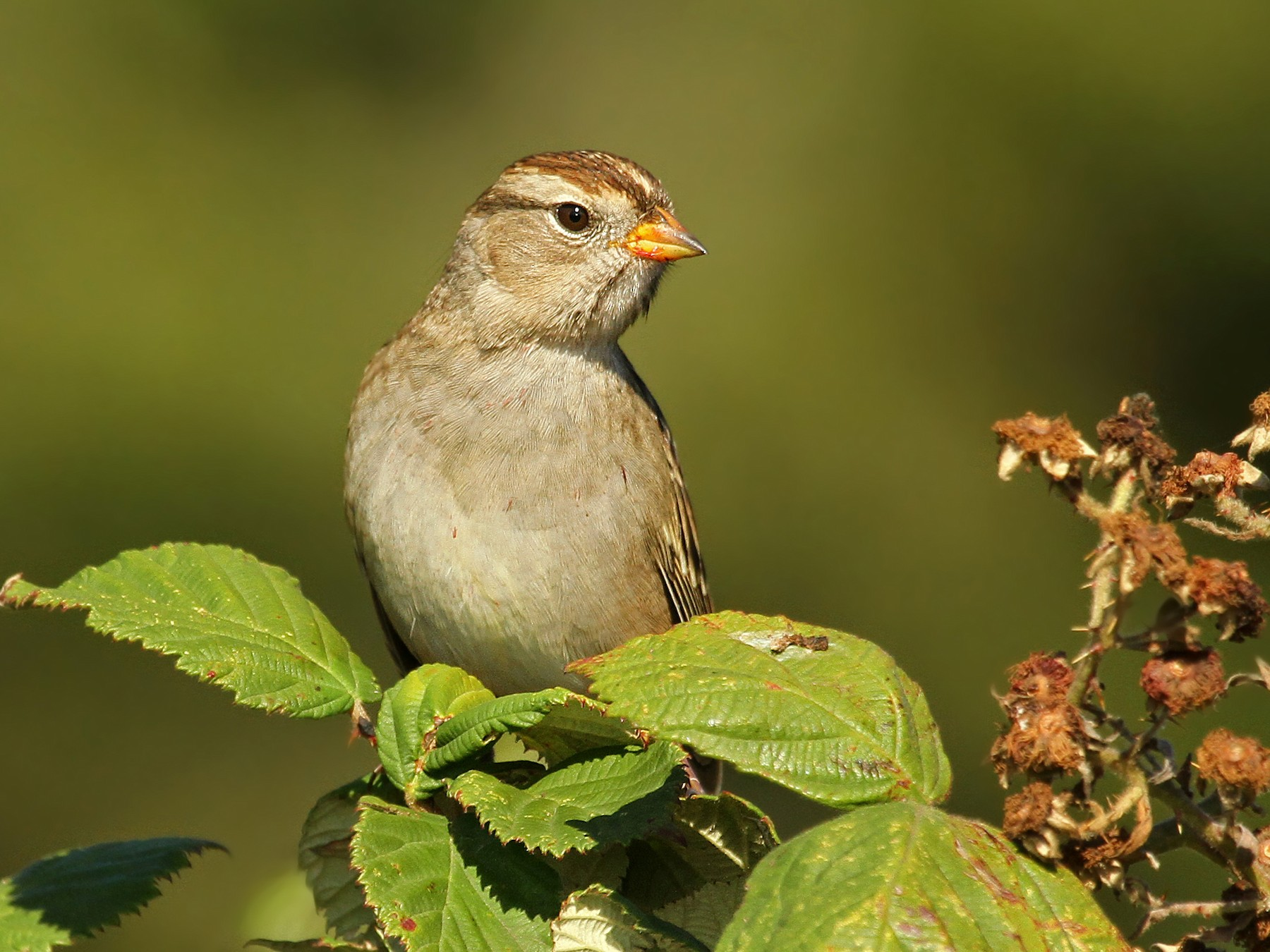 White-crowned Sparrow - Ryan Schain