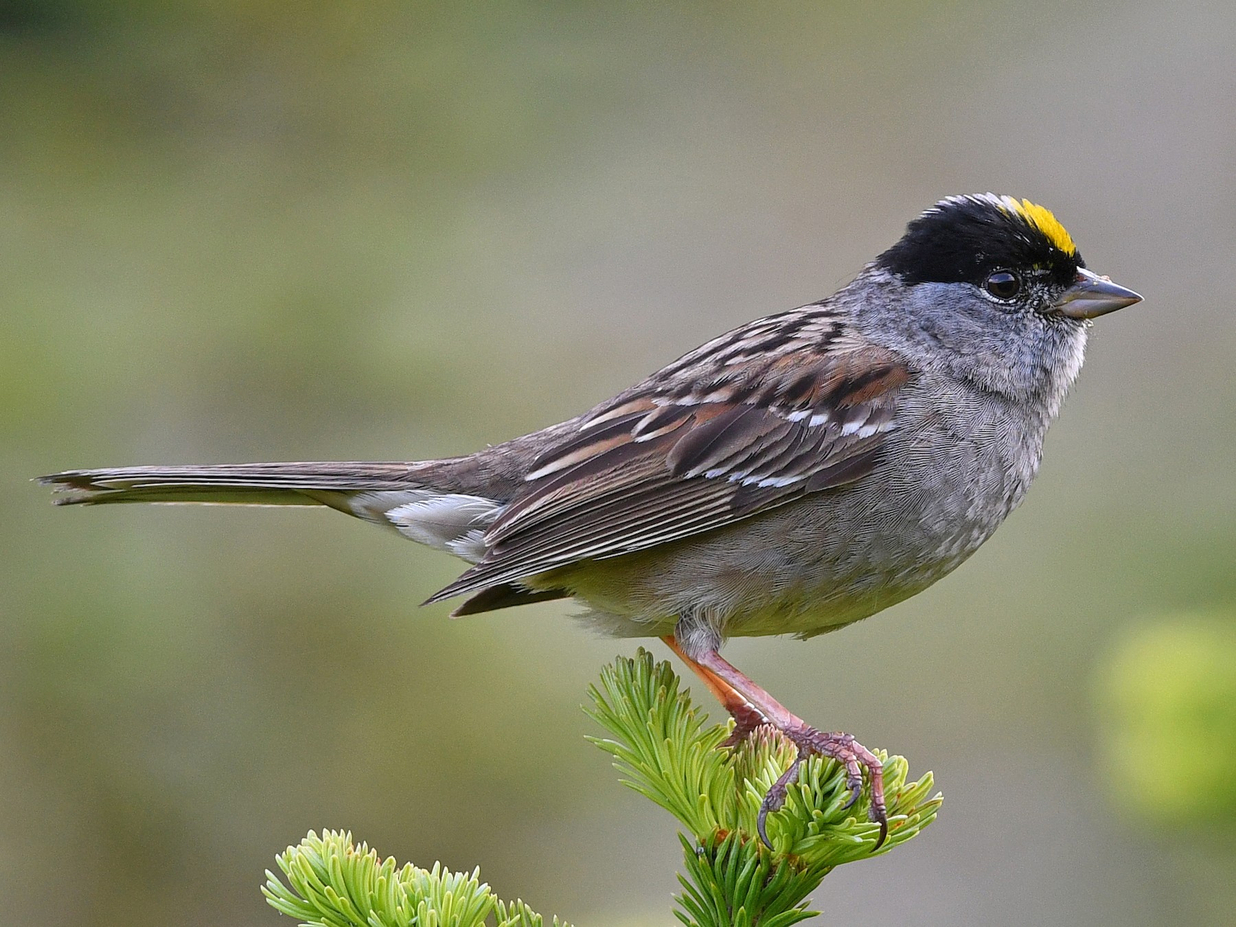 Golden-crowned Sparrow - David M. Bell