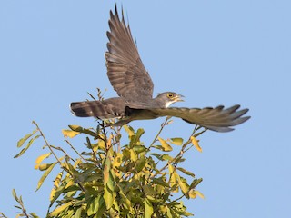 - Thick-billed Cuckoo