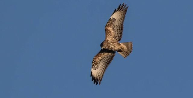 ©Francisco Pires - Common Buzzard