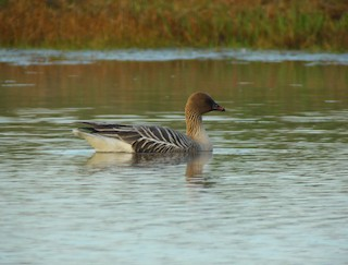 Pink-footed Goose, ML29825591