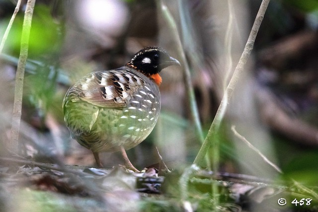 Hainan Partridge