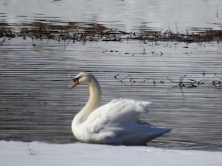 Mute Swan, ML298984951