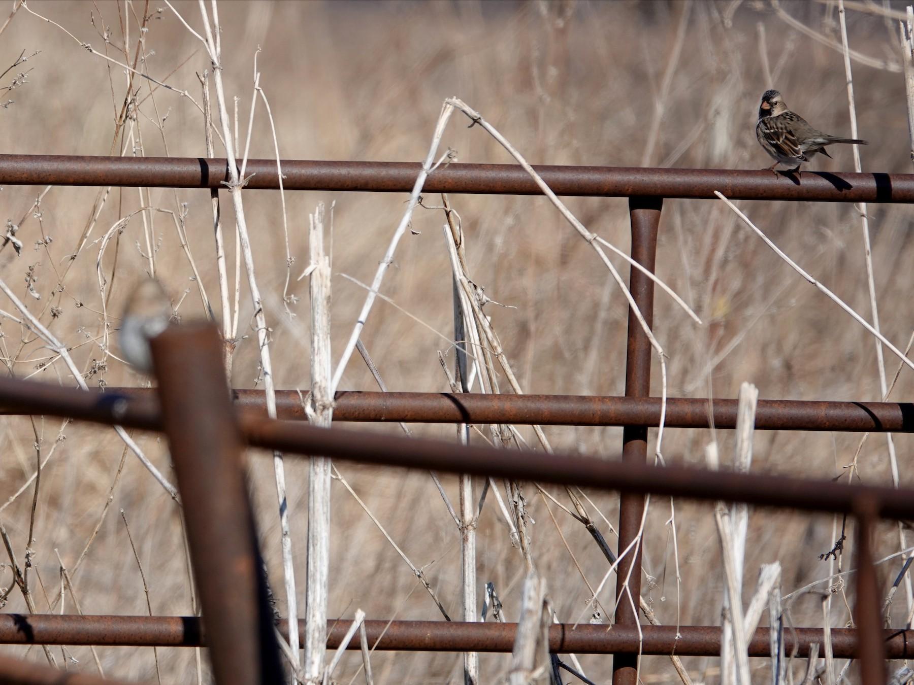 Harris's Sparrow - William Boyes