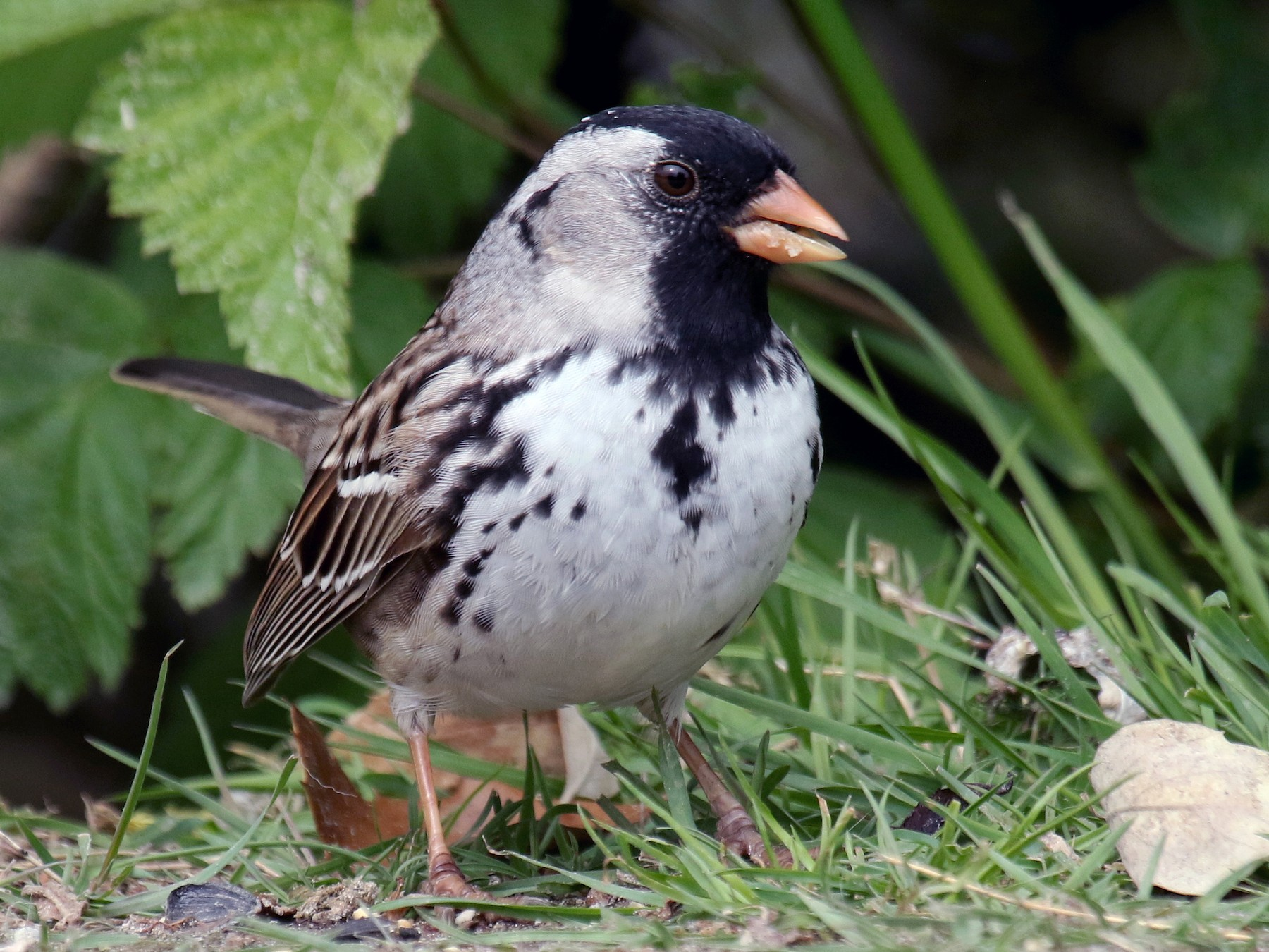 Harris's Sparrow - Liam Singh