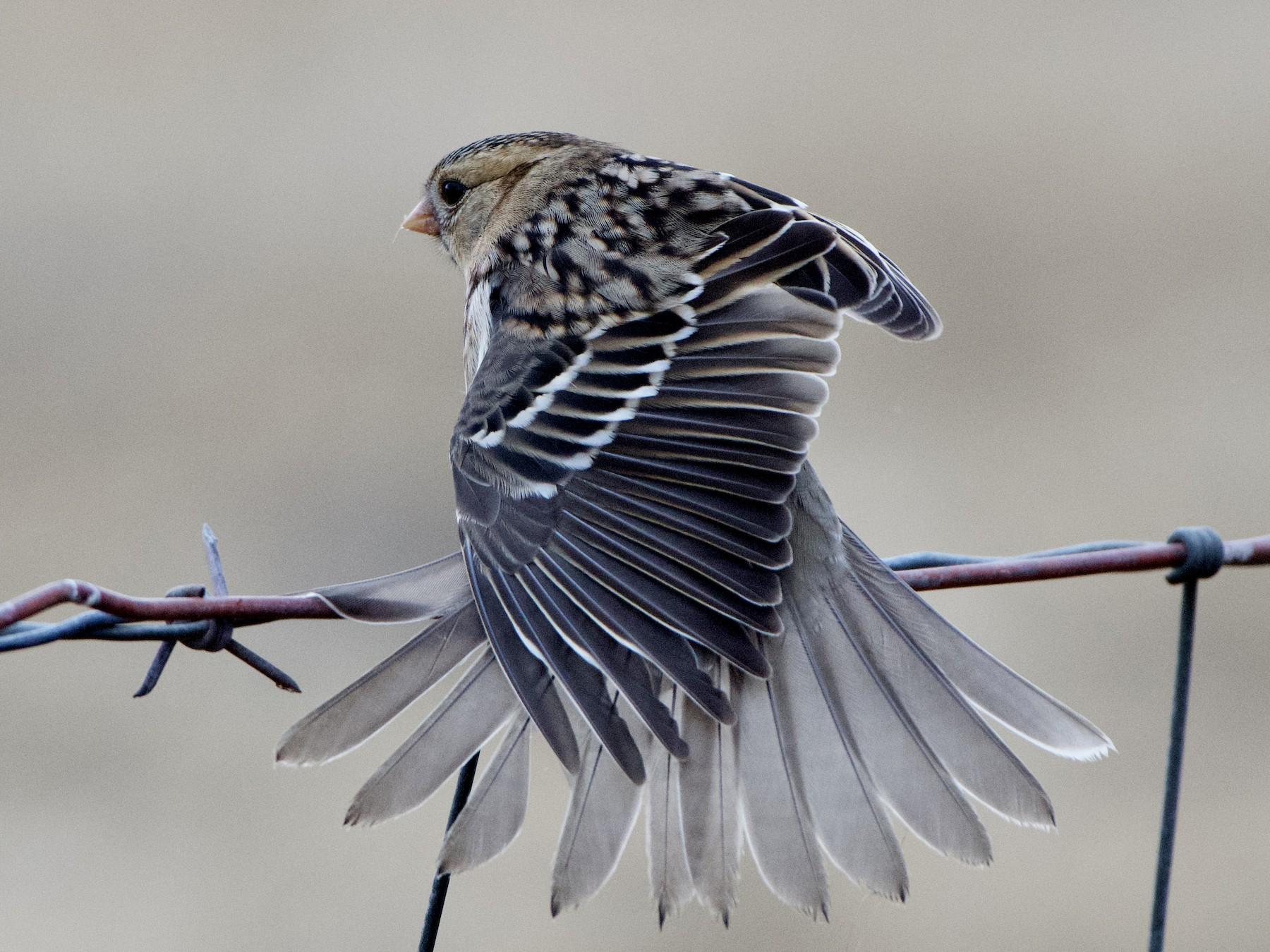 Harris's Sparrow - Dario Taraborelli