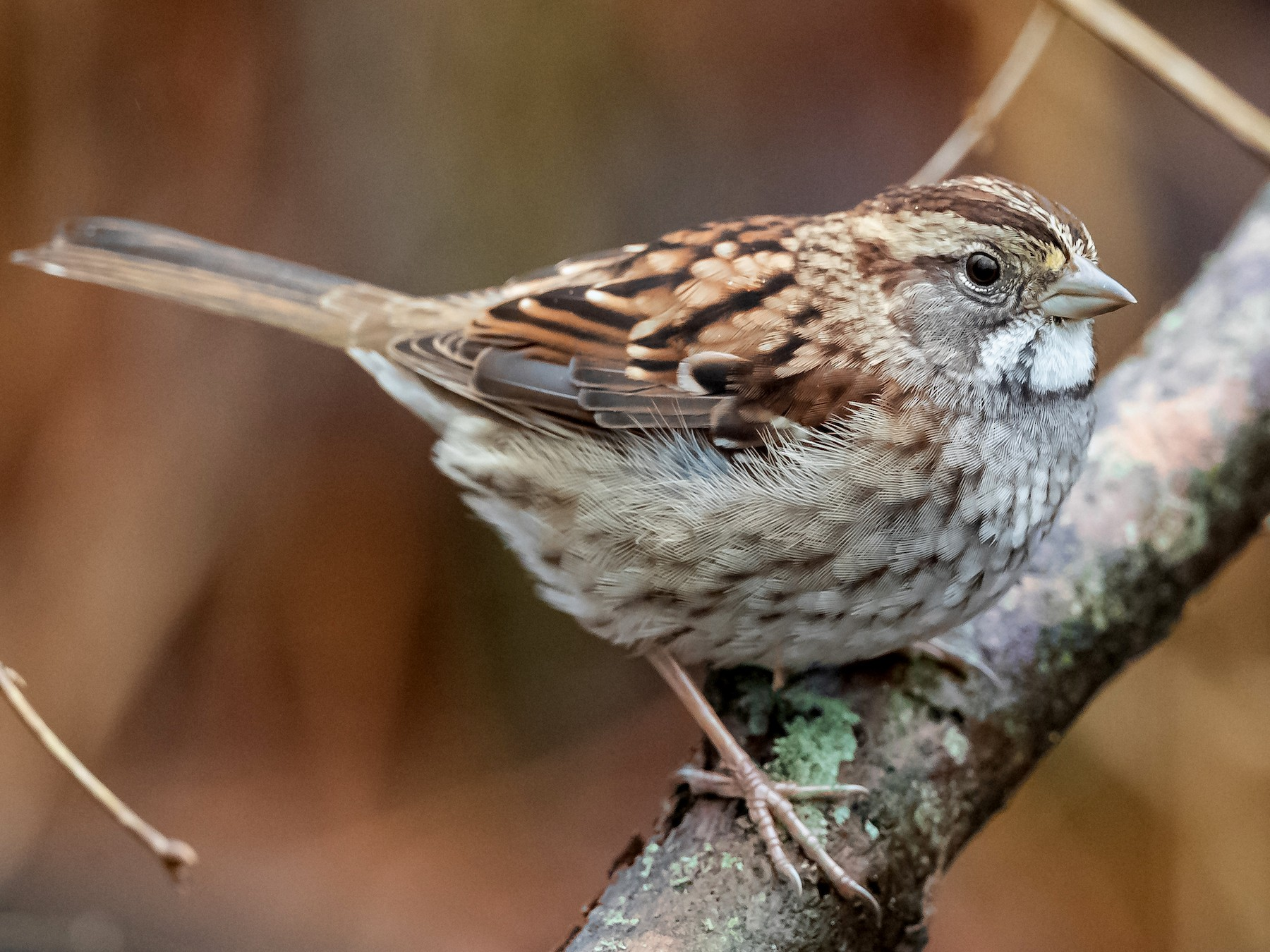 White-throated Sparrow - Ryan Sanderson