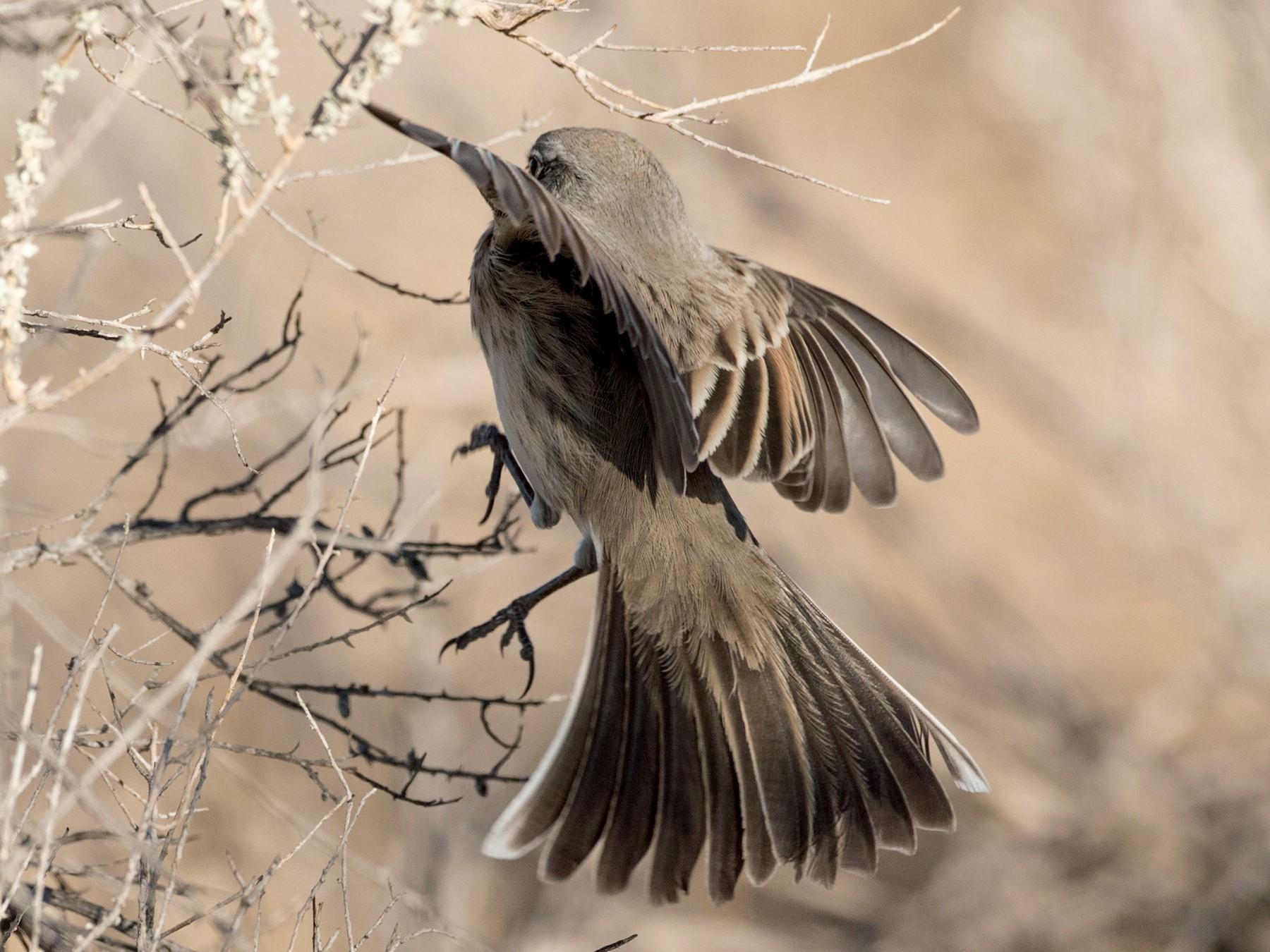 Sagebrush Sparrow - Ian Davies