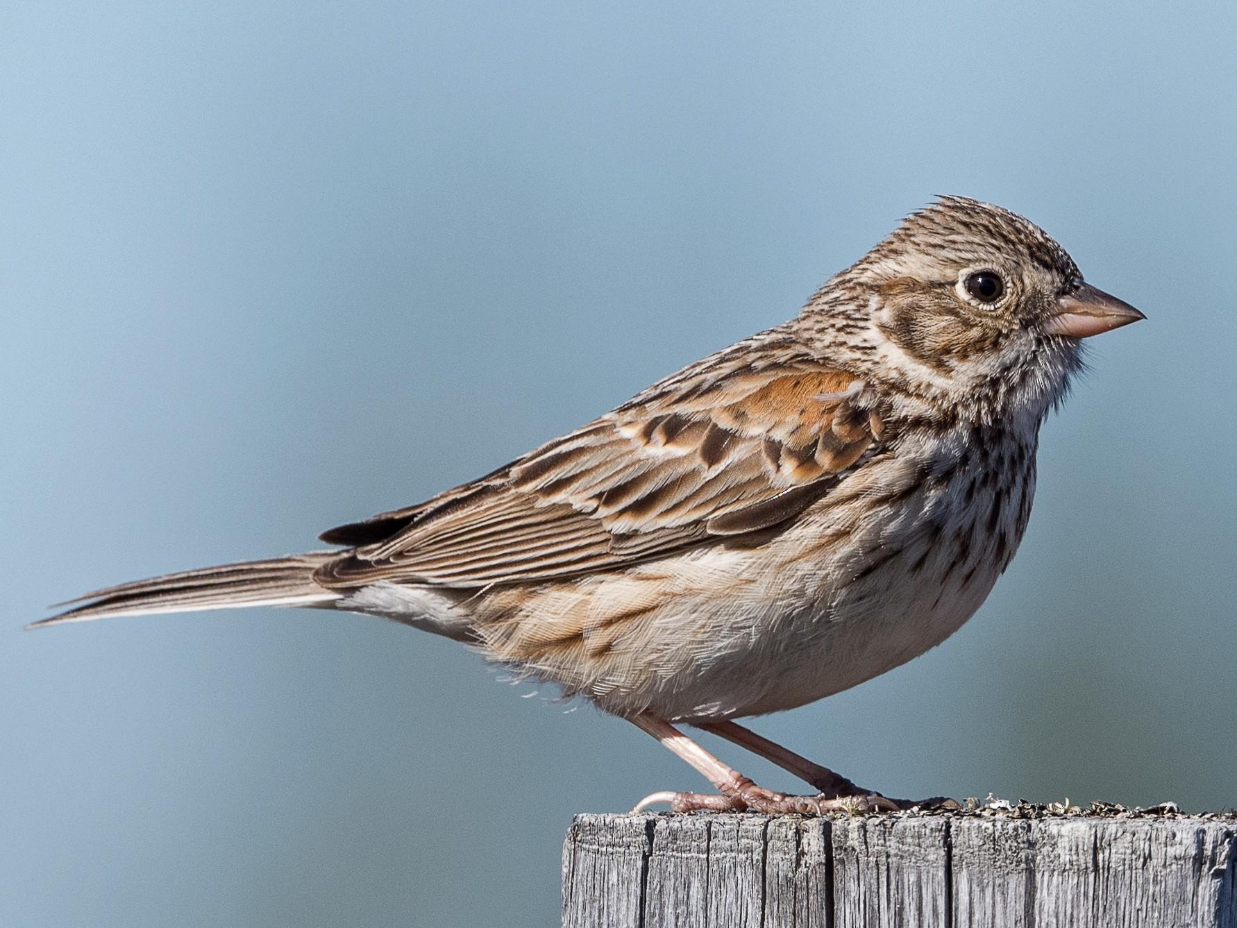 Vesper Sparrow - Simon Boivin