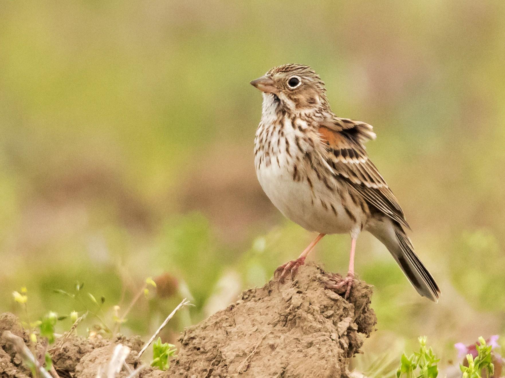 Vesper Sparrow - Brad Imhoff