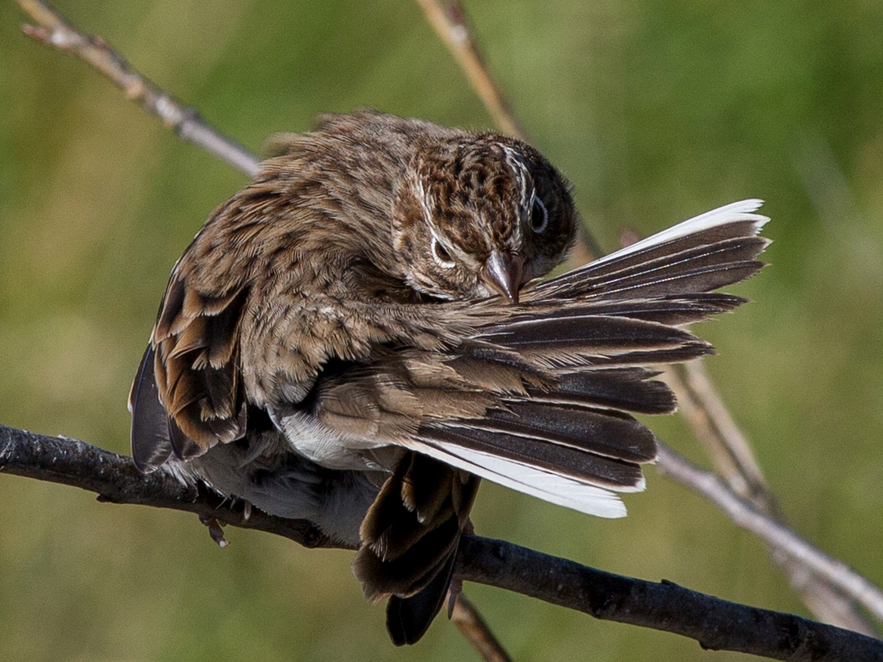 Vesper Sparrow - Roger Schroeder