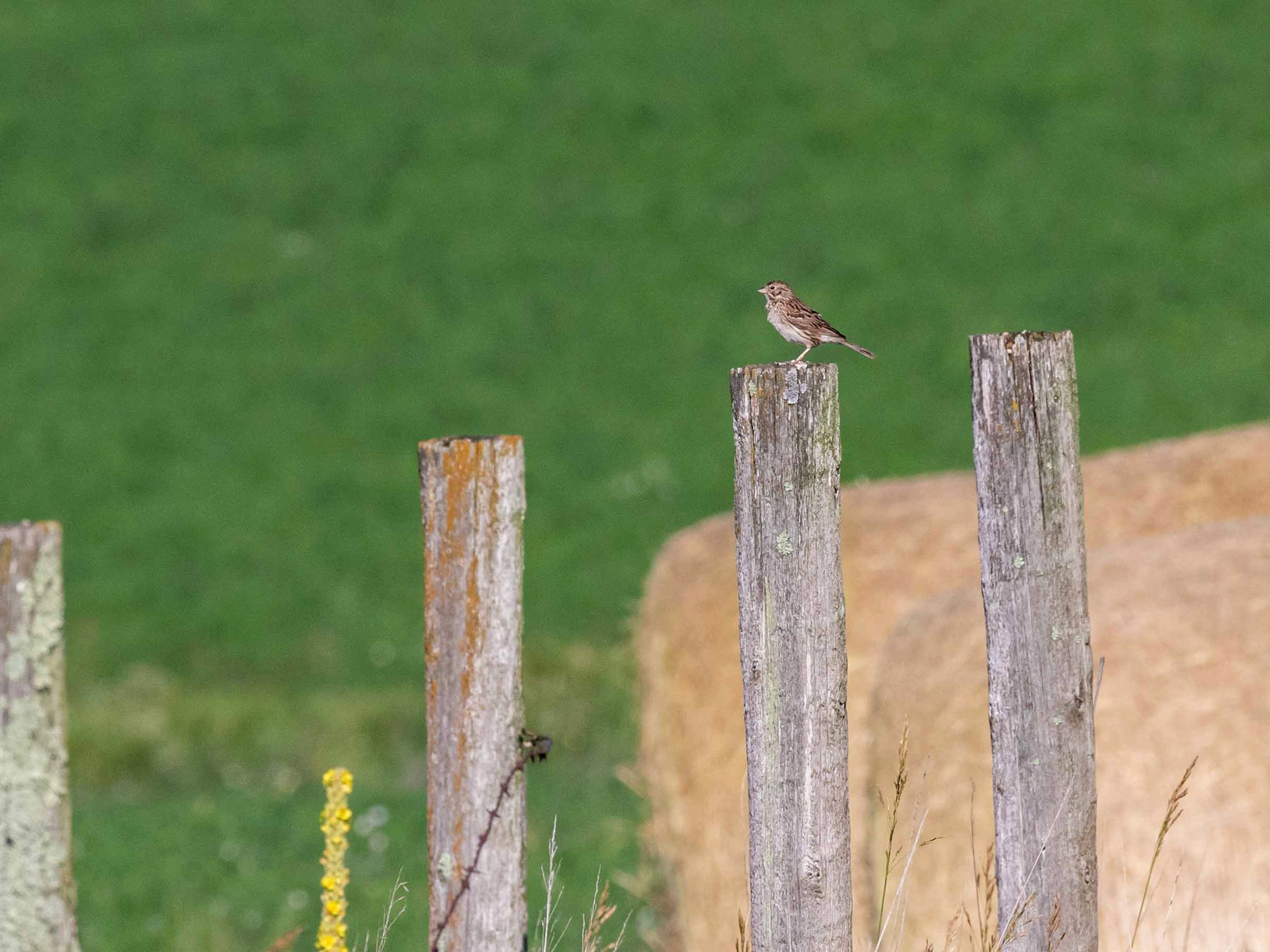 Vesper Sparrow - Brad Argue
