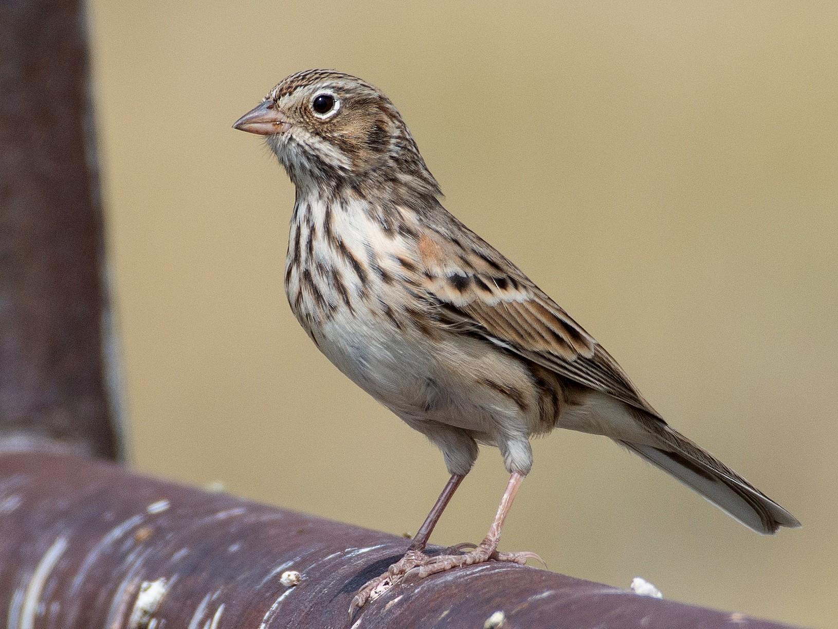 Vesper Sparrow - Owen Sinkus