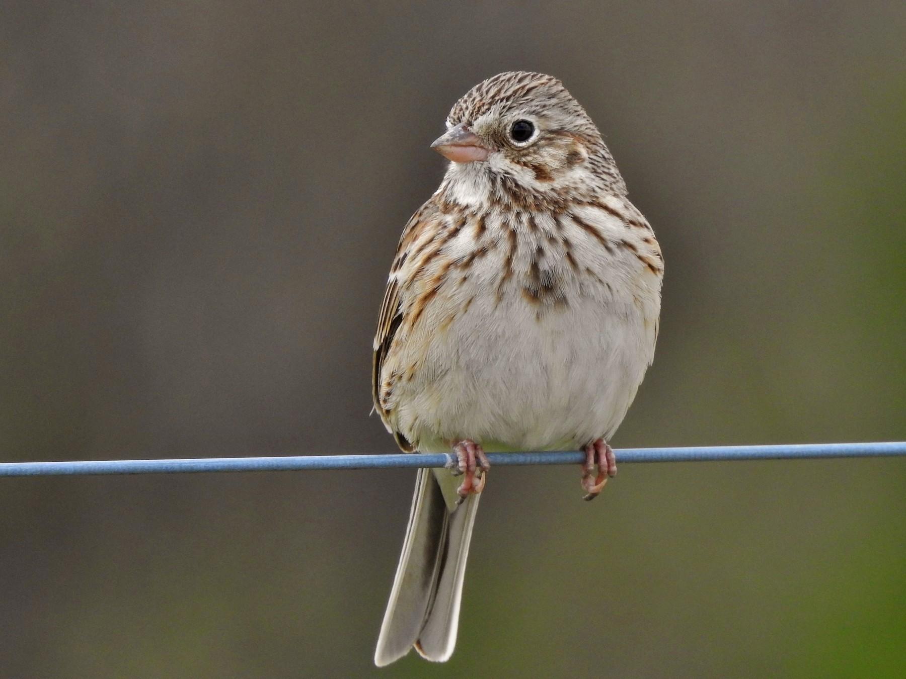 Vesper Sparrow - Kent Miller