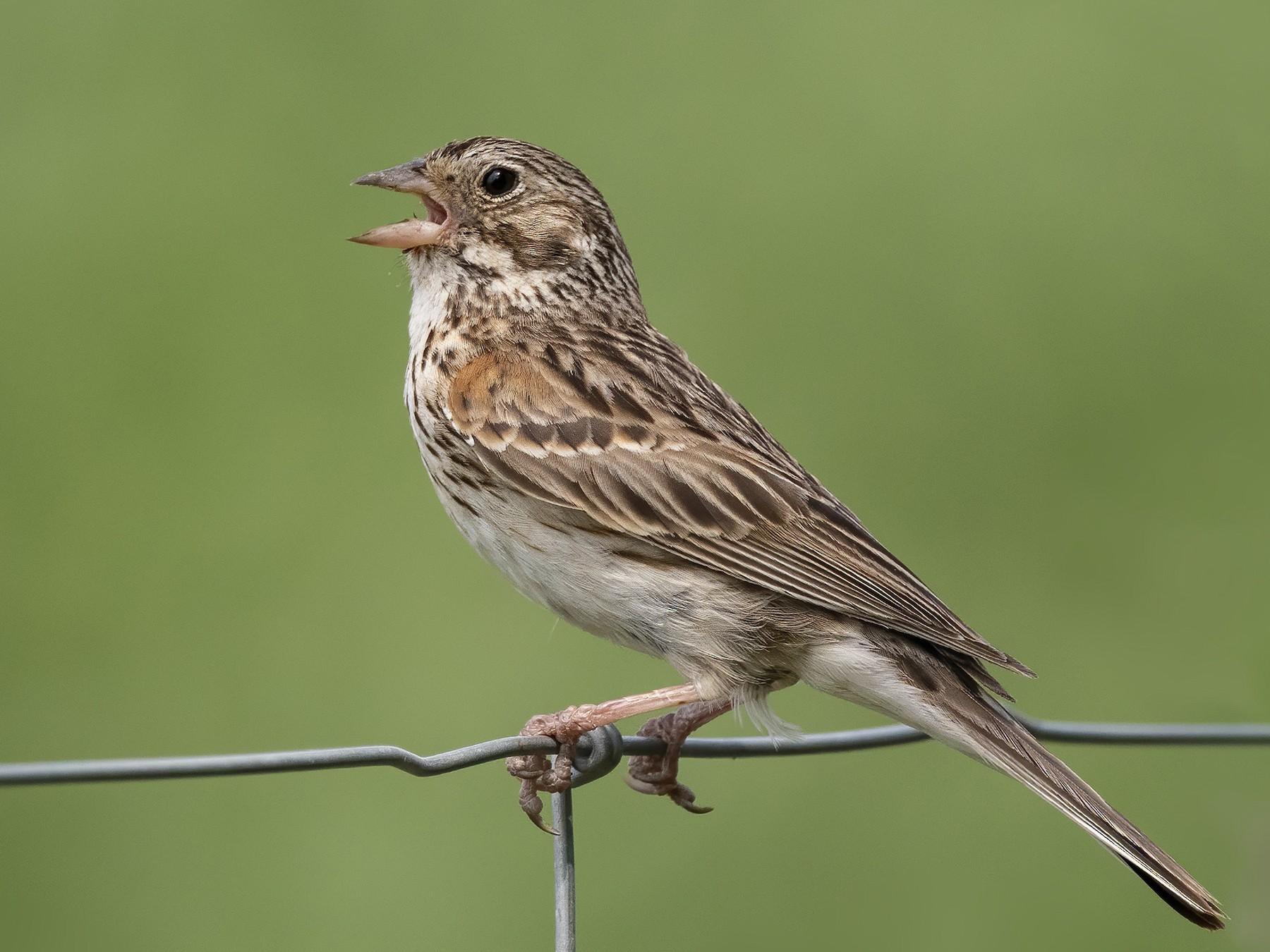 Vesper Sparrow - Peter Hawrylyshyn