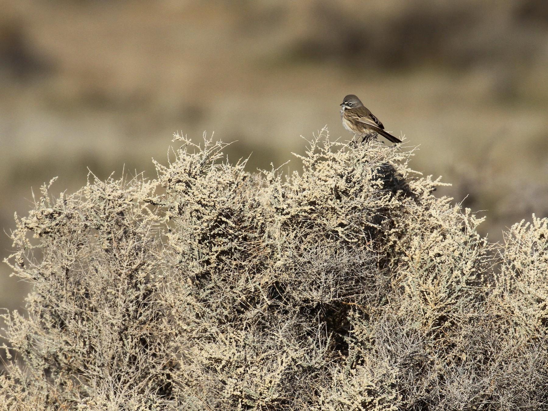 Bell's Sparrow - Alex Lamoreaux