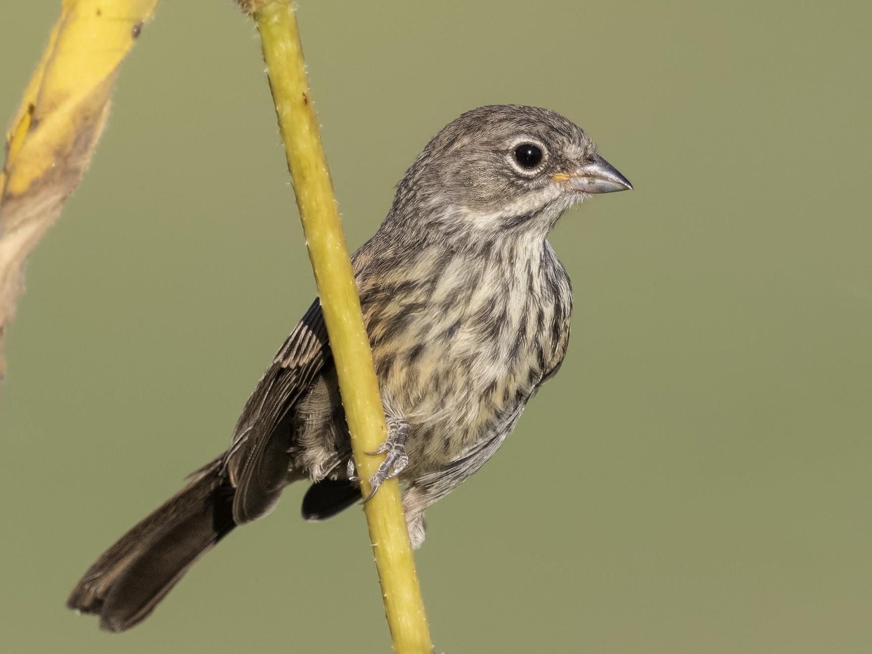 Bell's Sparrow - Sharif Uddin