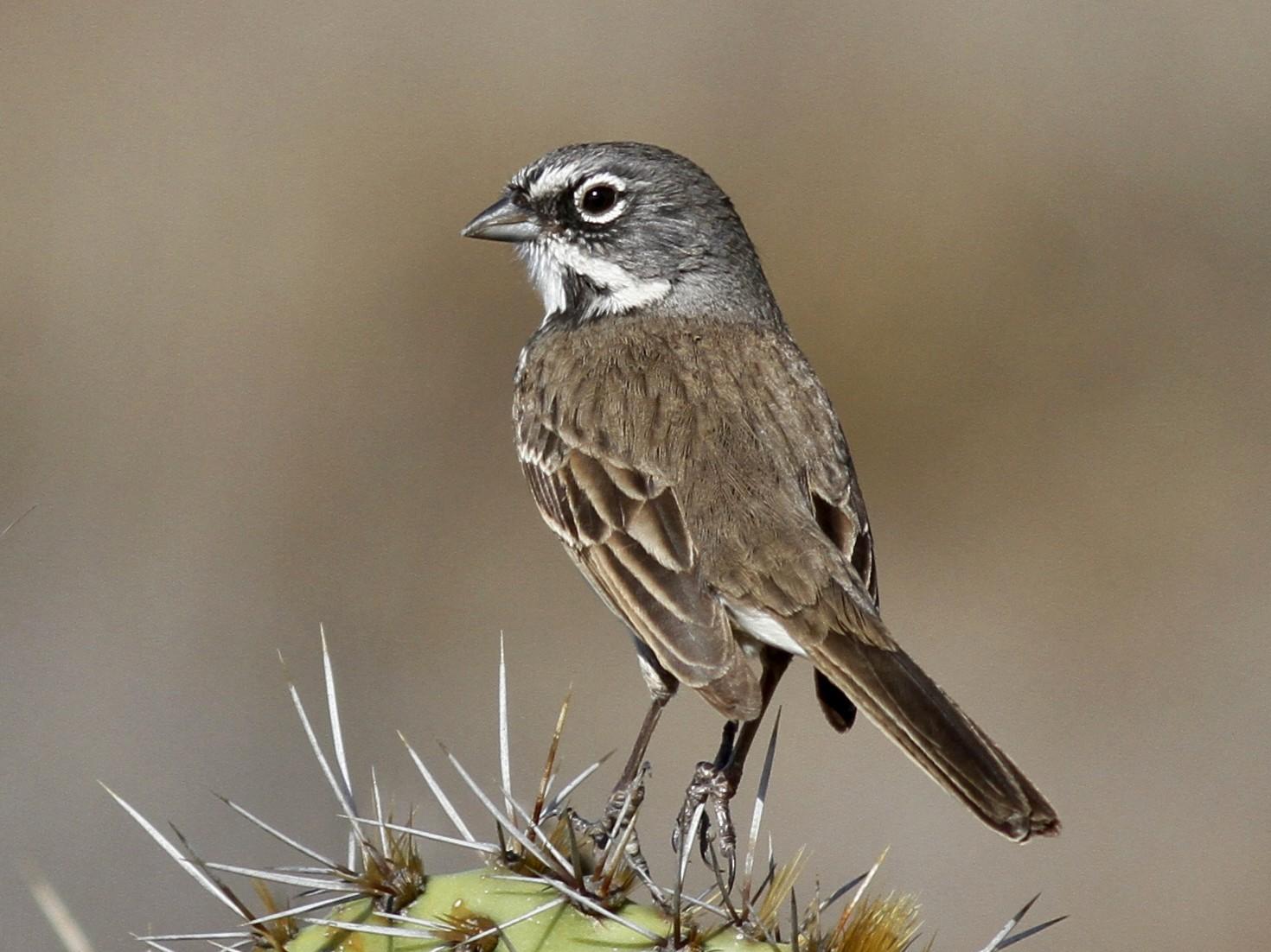 Bell's Sparrow - Nicole Desnoyers