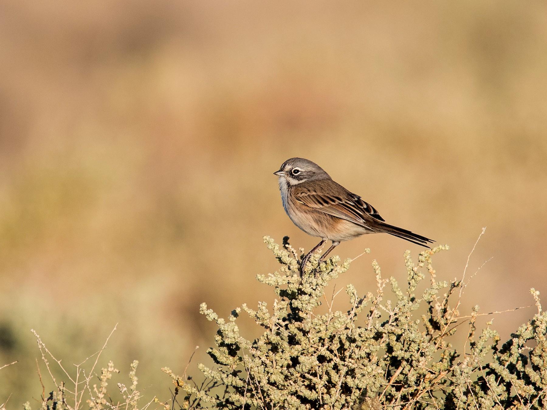 Bell's Sparrow - Melissa James