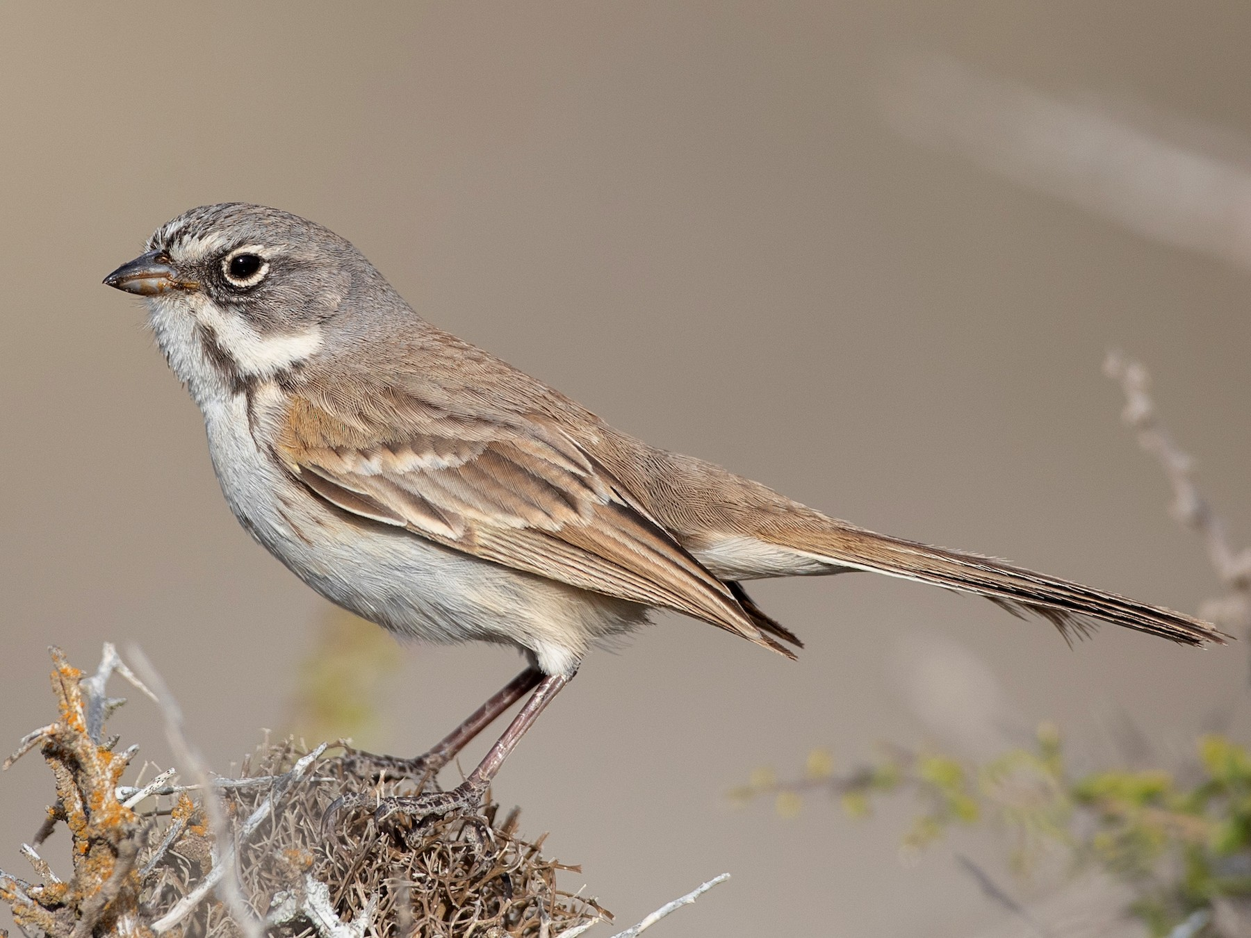 Bell's Sparrow - Ian Davies