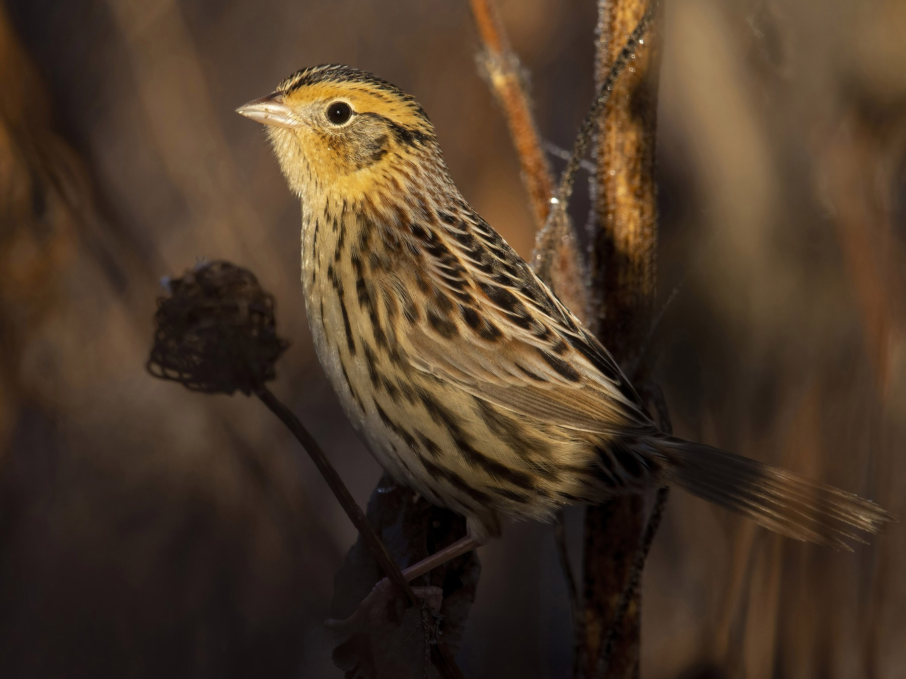 LeConte's Sparrow - Marky Mutchler