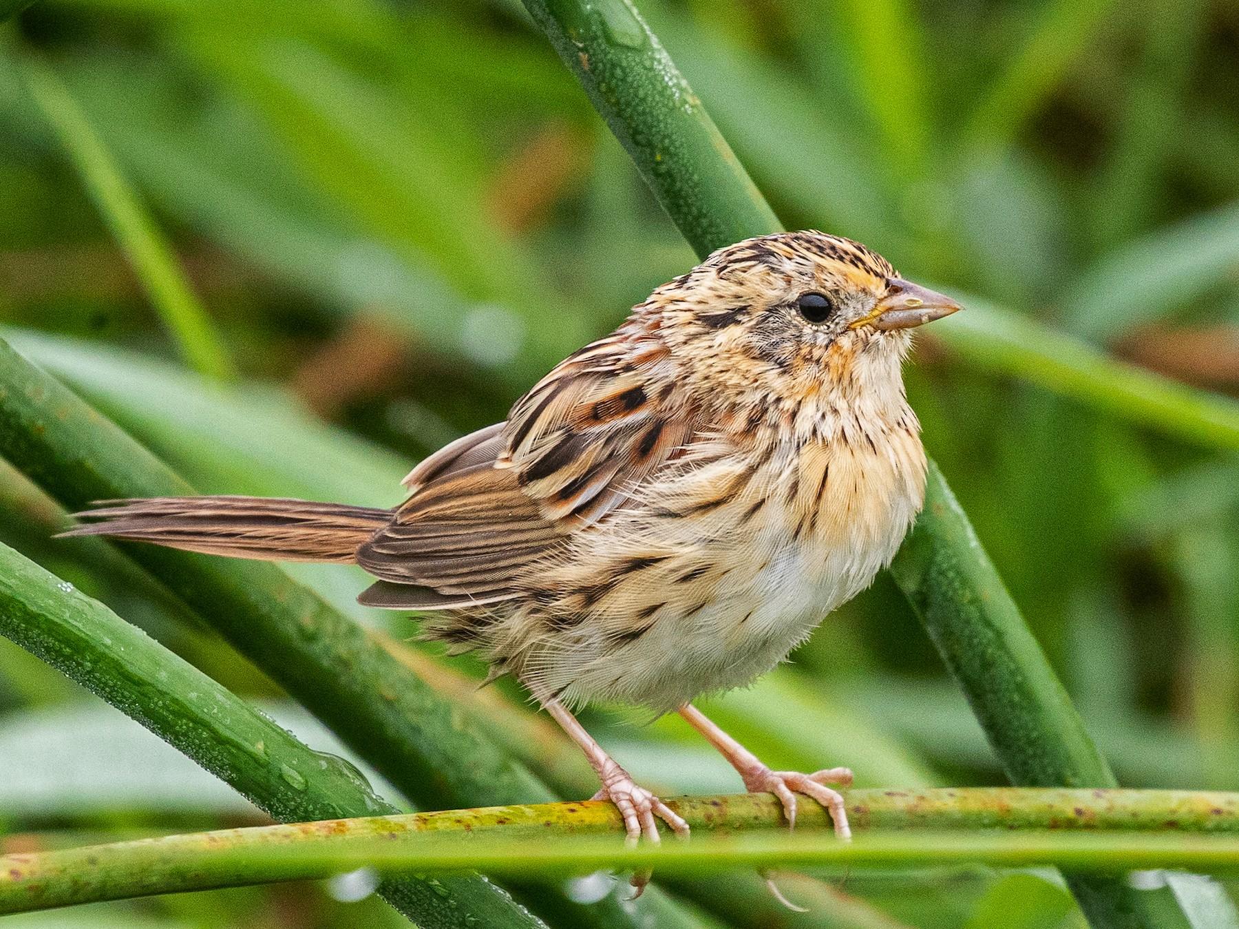 LeConte's Sparrow - Michael Henry