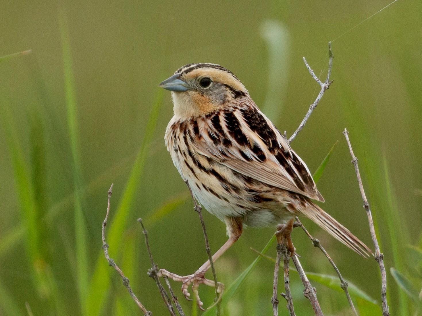 LeConte's Sparrow - Andy Boyce