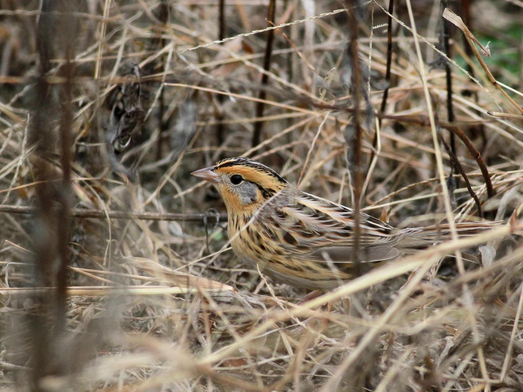LeConte's Sparrow - Jay McGowan