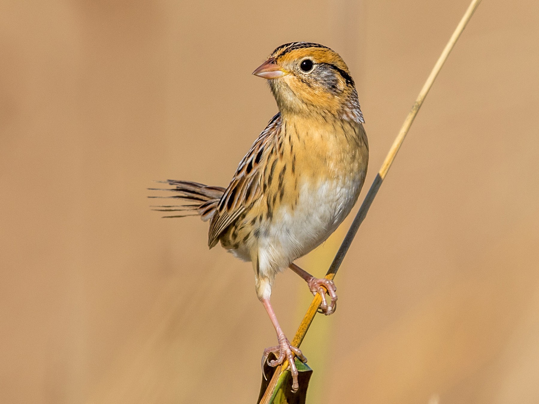 LeConte's Sparrow - Jeff Timmons