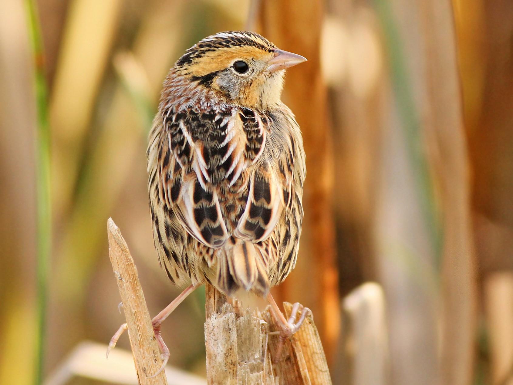 LeConte's Sparrow - Jeremiah Trimble