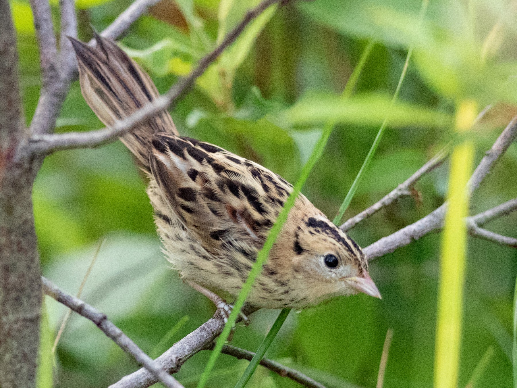 LeConte's Sparrow - Laura Erickson