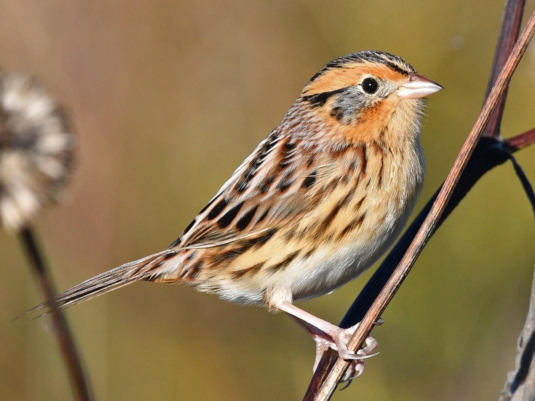 LeConte's Sparrow - George Chiu