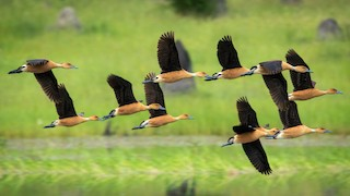 Fulvous Whistling-Duck, ML299359531
