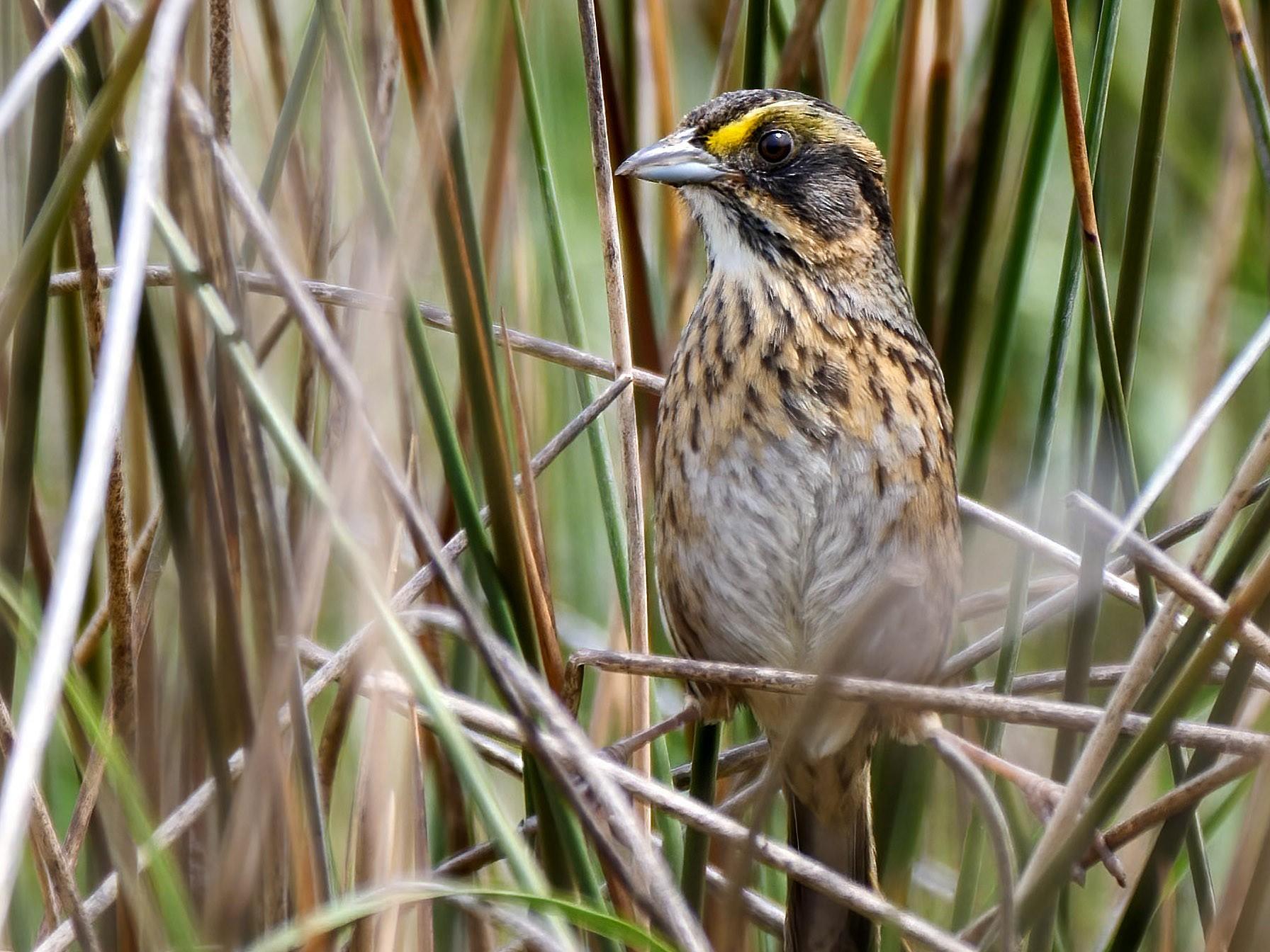 Seaside Sparrow - Mike Melton