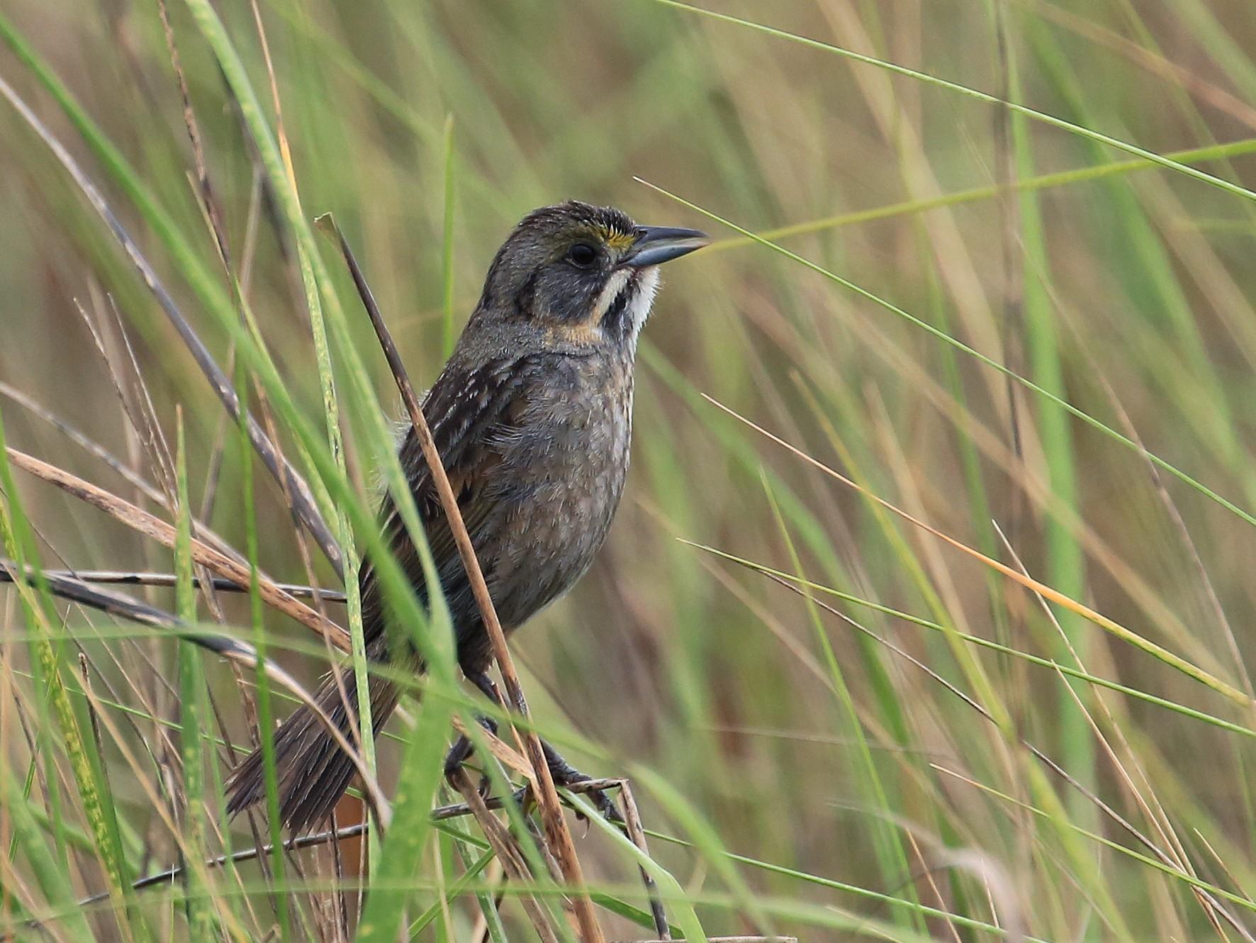 Seaside Sparrow - Tim Lenz