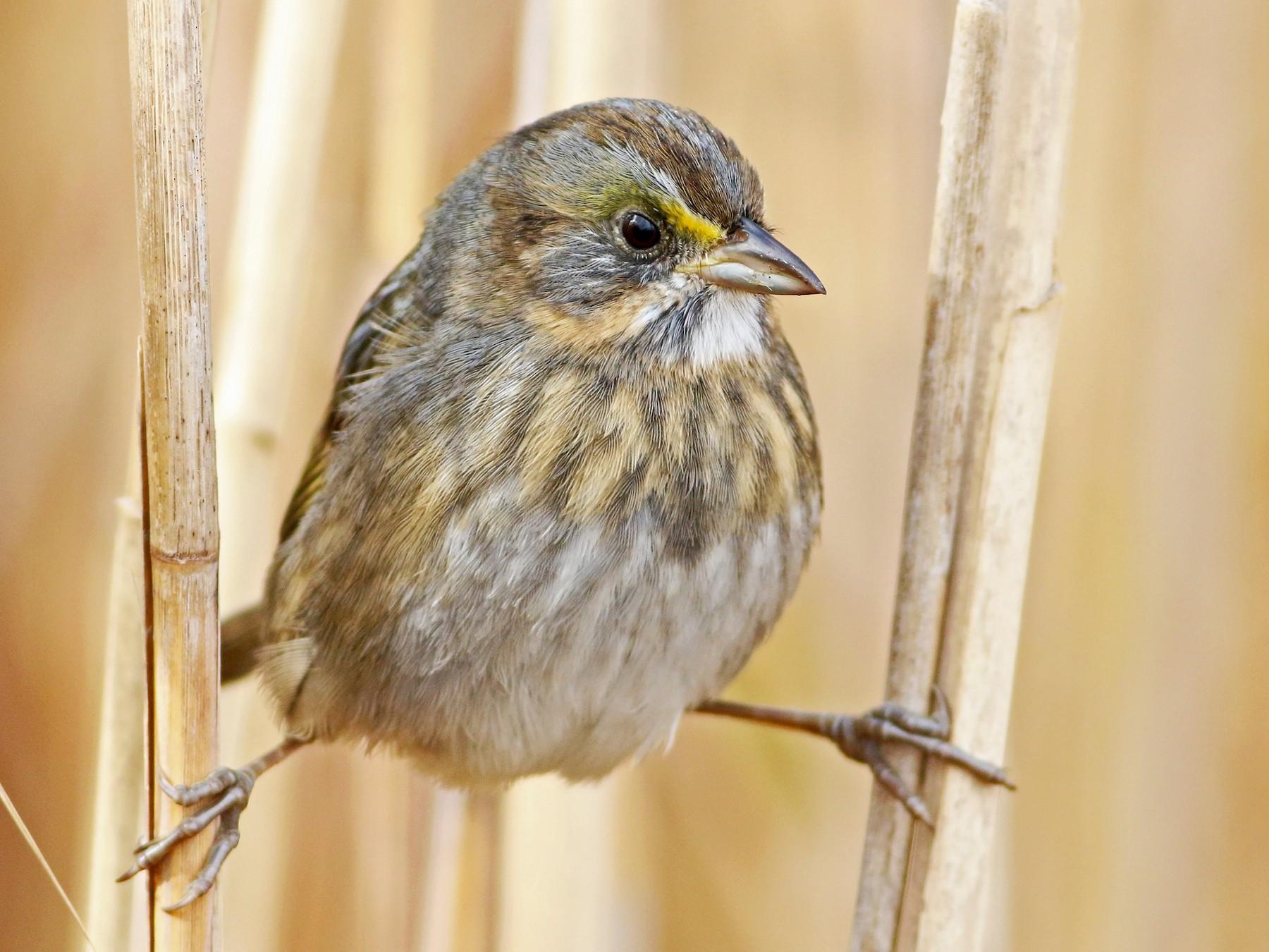 Seaside Sparrow - Keenan Yakola