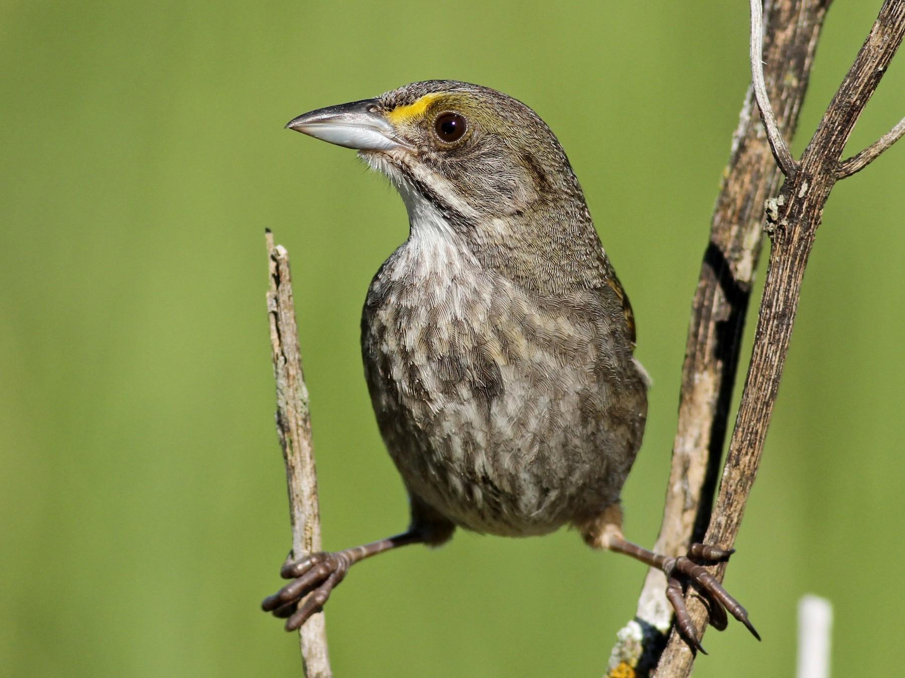 Seaside Sparrow - Evan Lipton
