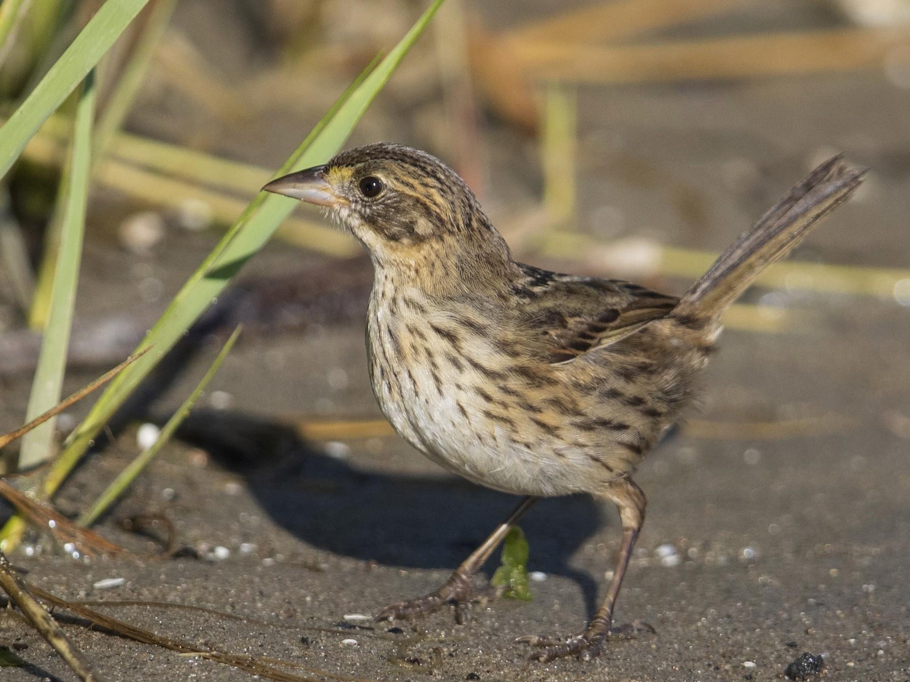 Seaside Sparrow - Michael Stubblefield
