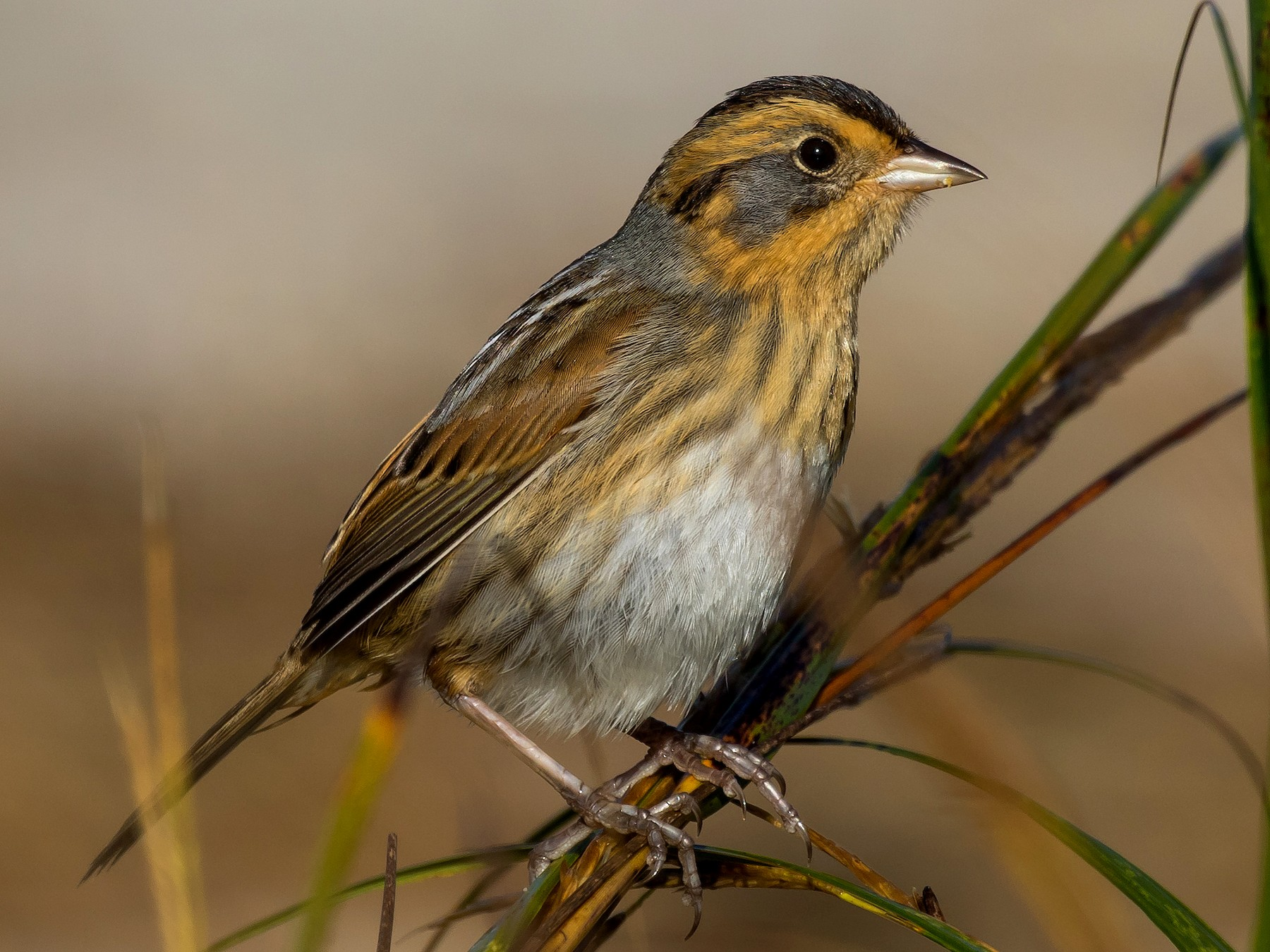 Nelson's Sparrow - Chris Thomas