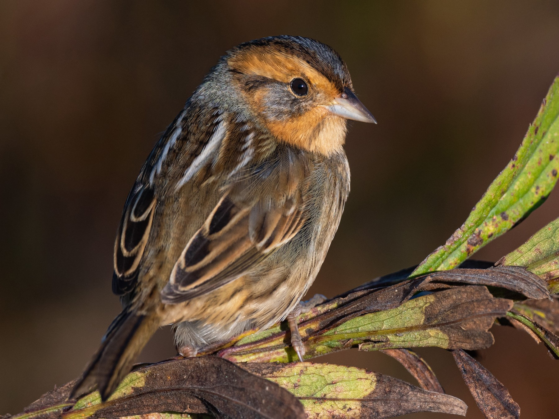 Nelson's Sparrow - John Petruzzi
