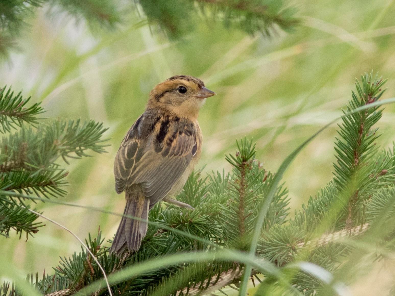 Nelson's Sparrow - David McCorquodale
